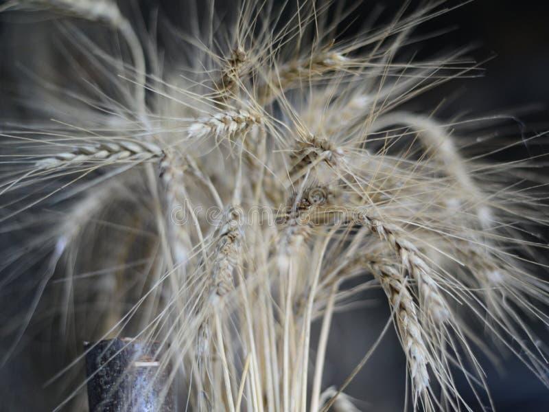 Уши пшеницы на темной предпосылке стоковые изображения