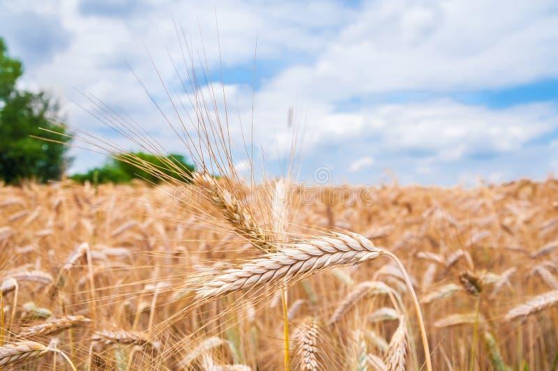 Download Уши пшеницы стоковое фото. изображение насчитывающей landscaped - 37927644