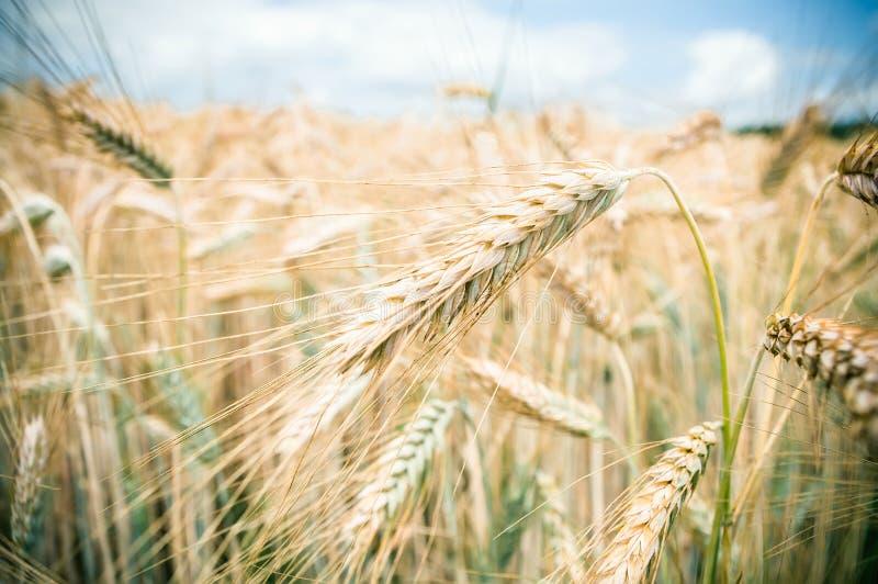Download Уши пшеницы стоковое фото. изображение насчитывающей landscaped - 37927650