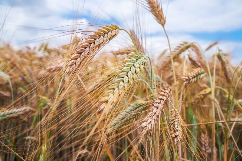 Download Уши пшеницы стоковое изображение. изображение насчитывающей индустрия - 37927715