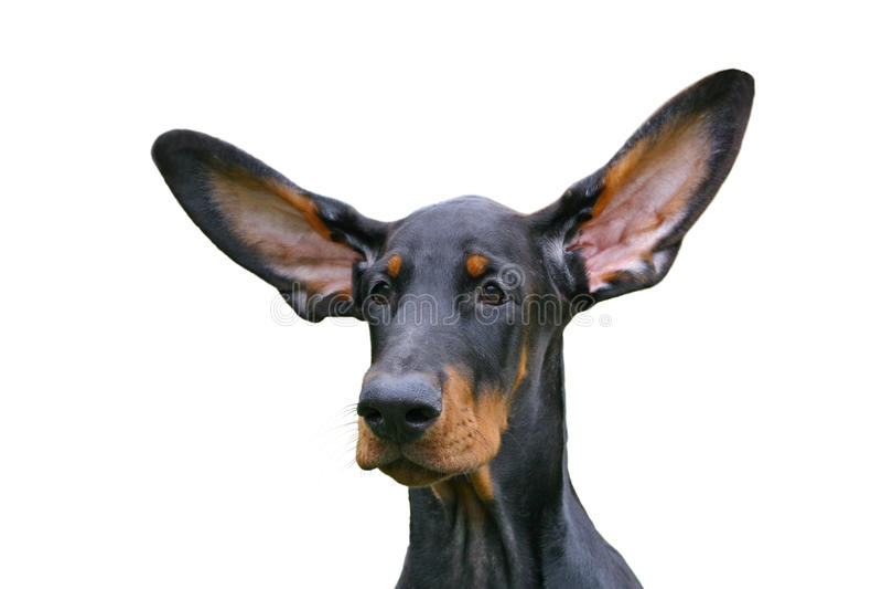 уши смешные стоковое изображение rf