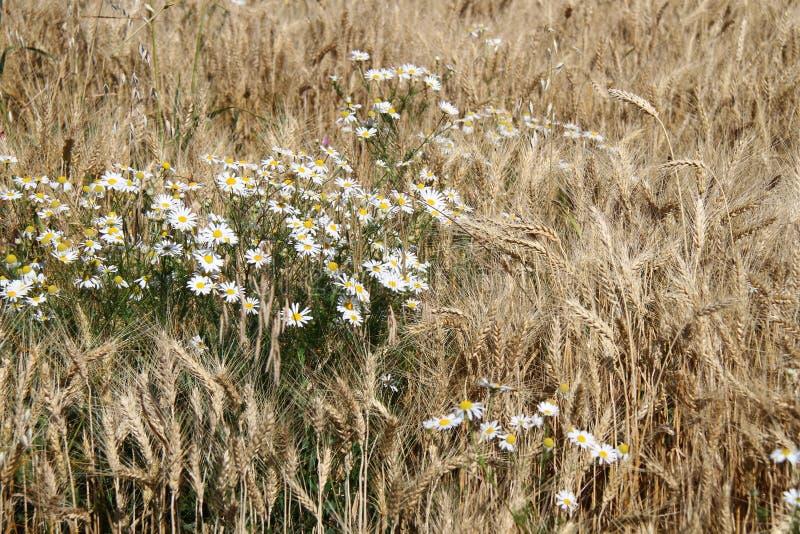Уши стоцвета и пшеницы стоковое фото rf