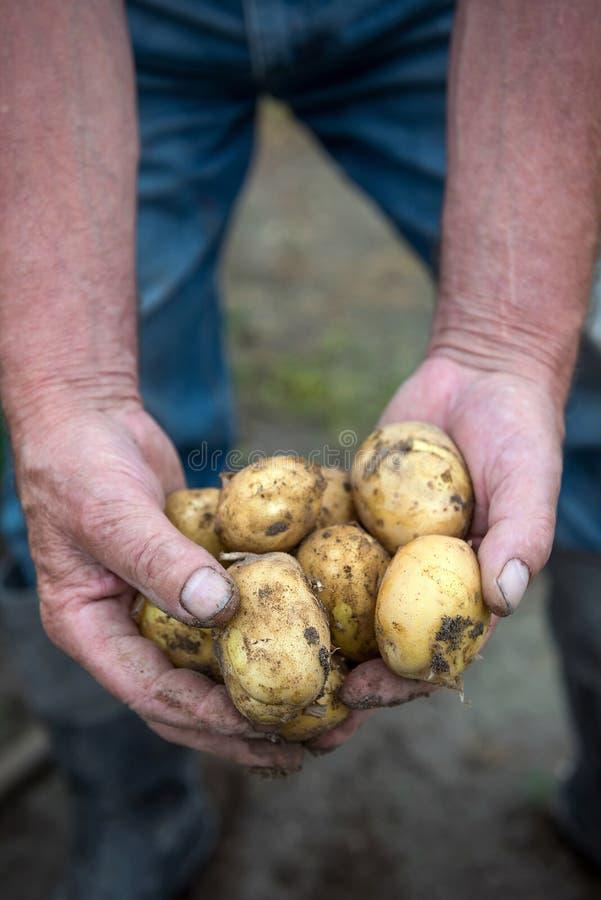 Удерживание человека сжало картошки стоковое изображение rf