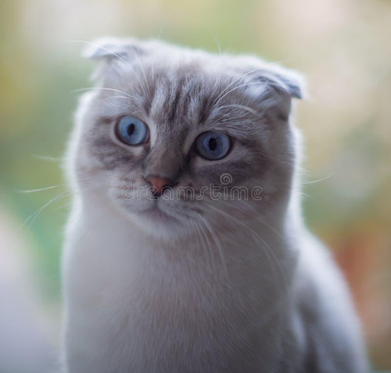 Удивленный кот scotishfold стоковое изображение rf