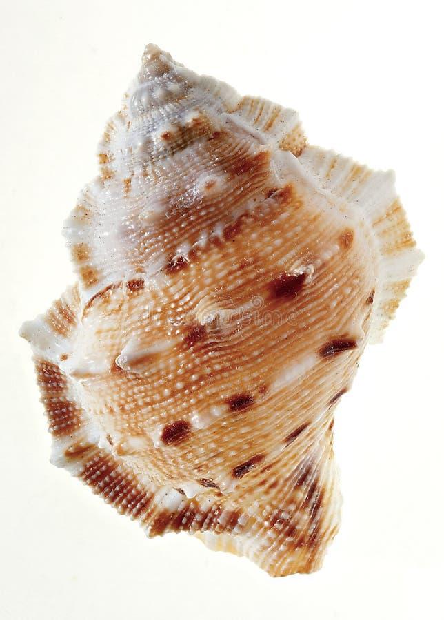 Улитка моря стоковое фото rf