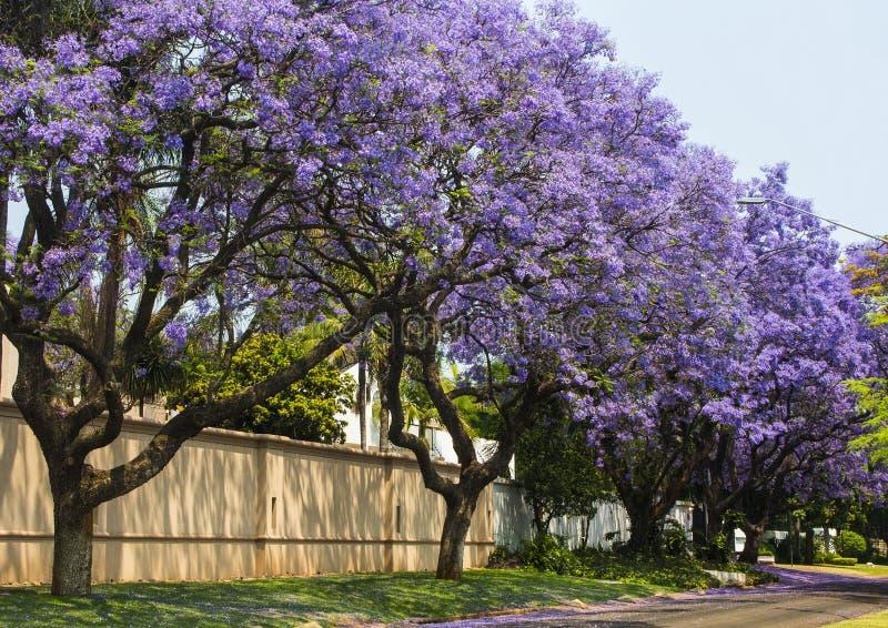 Улица весны красивого фиолетового живого jacaranda в цветени стоковое фото rf