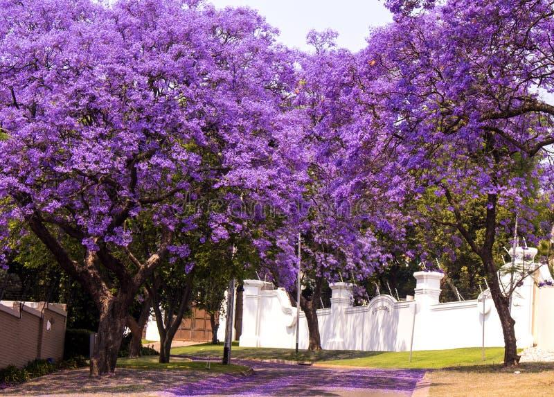 Улица красивого фиолетового живого jacaranda в цветени Весна внутри стоковое изображение rf