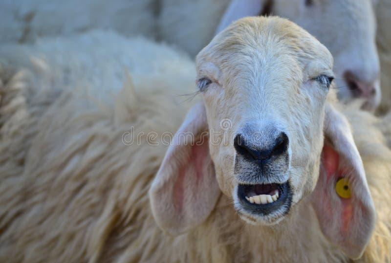 Улыбка овец стоковая фотография