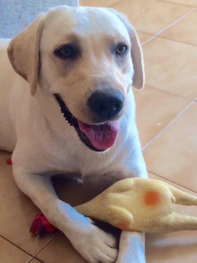 Улыбка собаки пока играющ стоковые изображения