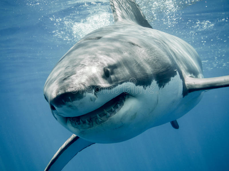 Улыбка s большой белой акулы ' стоковое изображение