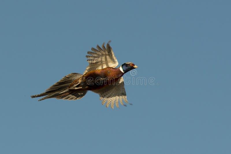 Фазан петуха летания стоковые фотографии rf