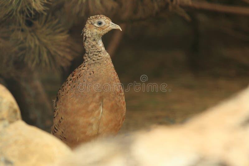 фазан cheer стоковое фото