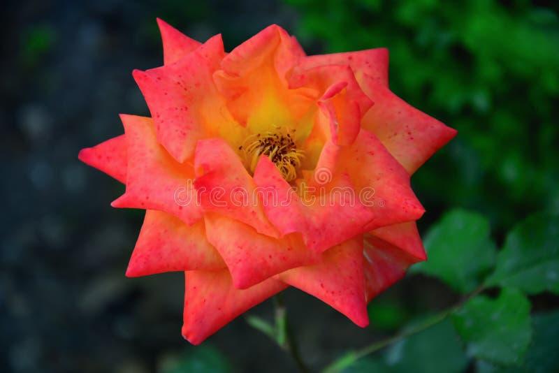 Фантастическая роза апельсина Макрос стоковые изображения rf