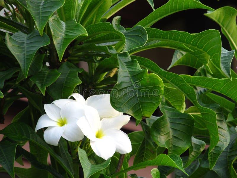 Фантастические душистые чистые белые надушенные цветеня с желтыми центрами экзотического тропического plumeria вида frangipanni н стоковое изображение rf