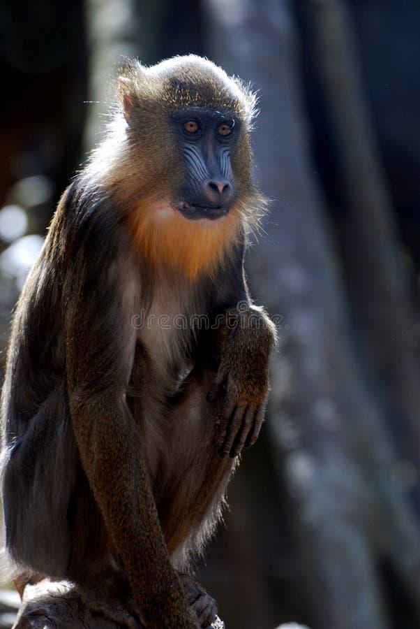 Фантастический взгляд на молодой обезьяне Mandrill стоковые фотографии rf
