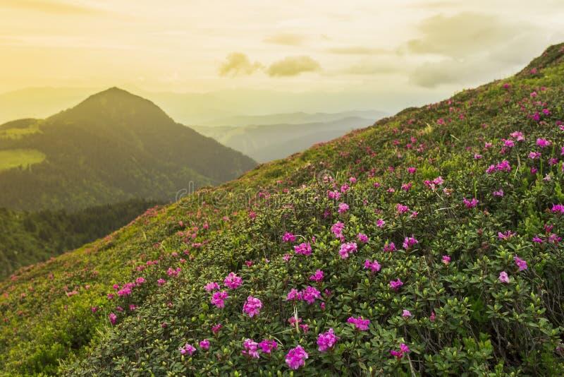 Фантастический красочный рододендрон захода солнца и цветеня стоковое фото rf