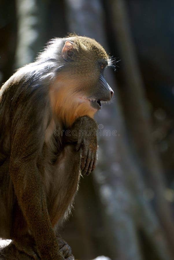 Фантастический профиль обезьяны Mandrill младенца стоковое изображение
