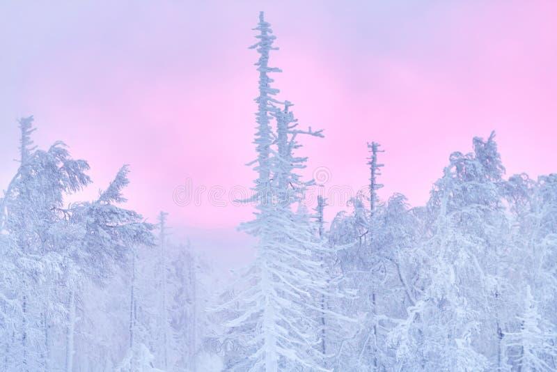 Фантастичный лес на заходе солнца, все зимы рождества покрыт с снегом Деревья сосны и спруса предусматриванные в снеге блицкрига стоковые изображения rf