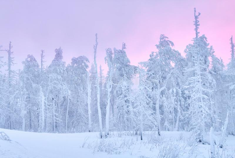 Фантастичный лес на заходе солнца, все зимы рождества покрыт с снегом Деревья сосны и спруса предусматриванные в снеге блицкрига стоковое фото