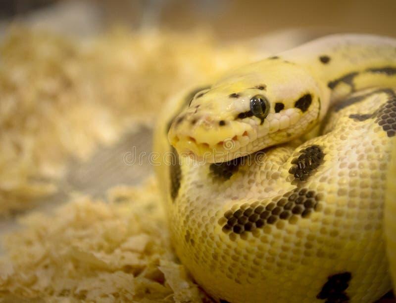 Фантомная змейка стоковые фотографии rf