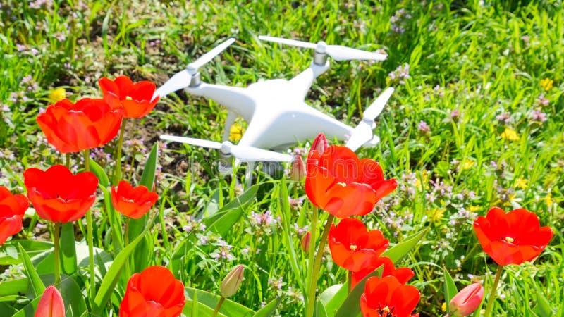 Фантом 4 Quadrocopter DJI расположен на луге с красными цветками тюльпана стоковое фото rf