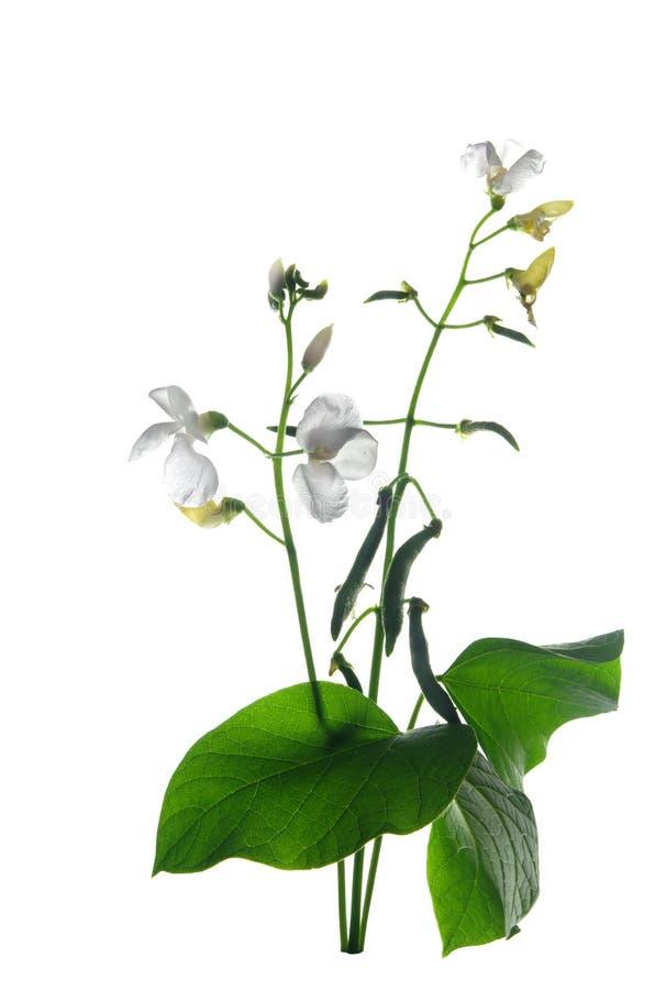 Фасоль с цветком и листьями стоковая фотография