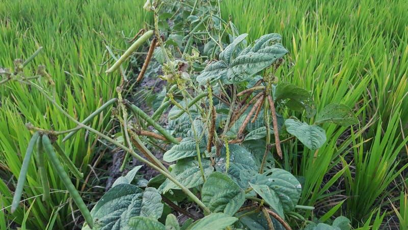 Фасоль mung, альтернативно известная как зеленый грамм, maash, или moong санскритское стоковые фото