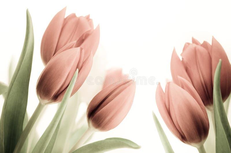 фасонируемые старые тюльпаны стоковые фотографии rf