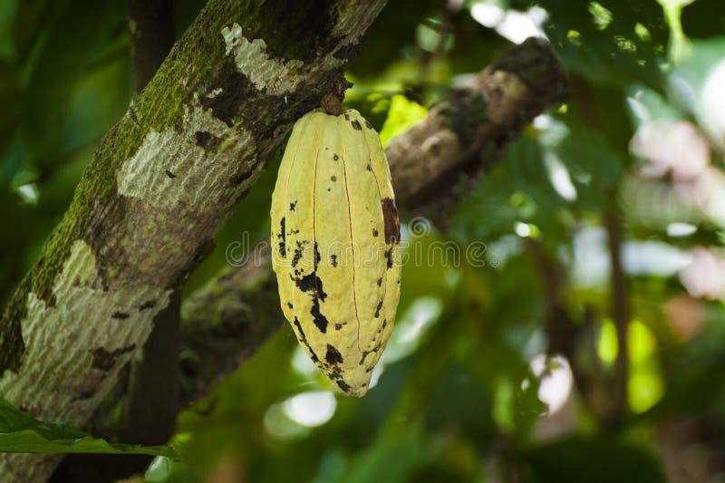 Фасоль какао стоковые изображения