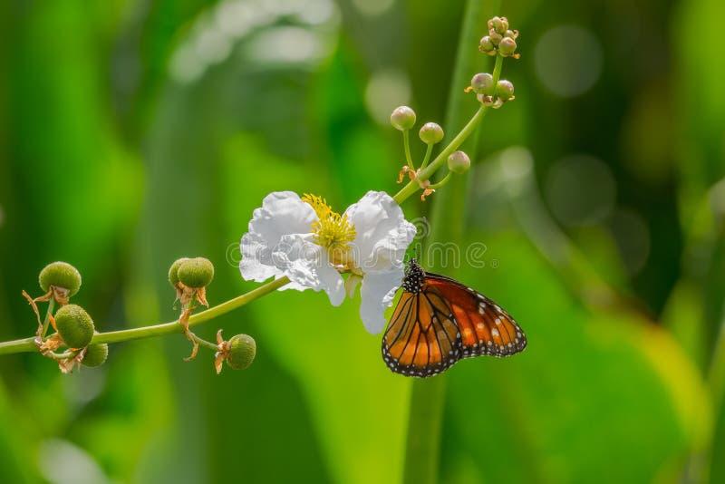 Ферзь бабочки - монарх стоковые изображения rf