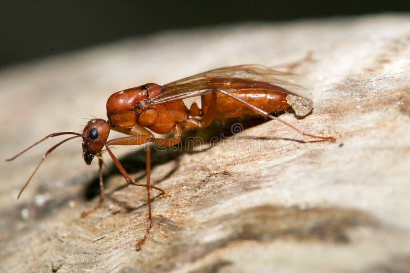 Ферзь муравья стоковая фотография
