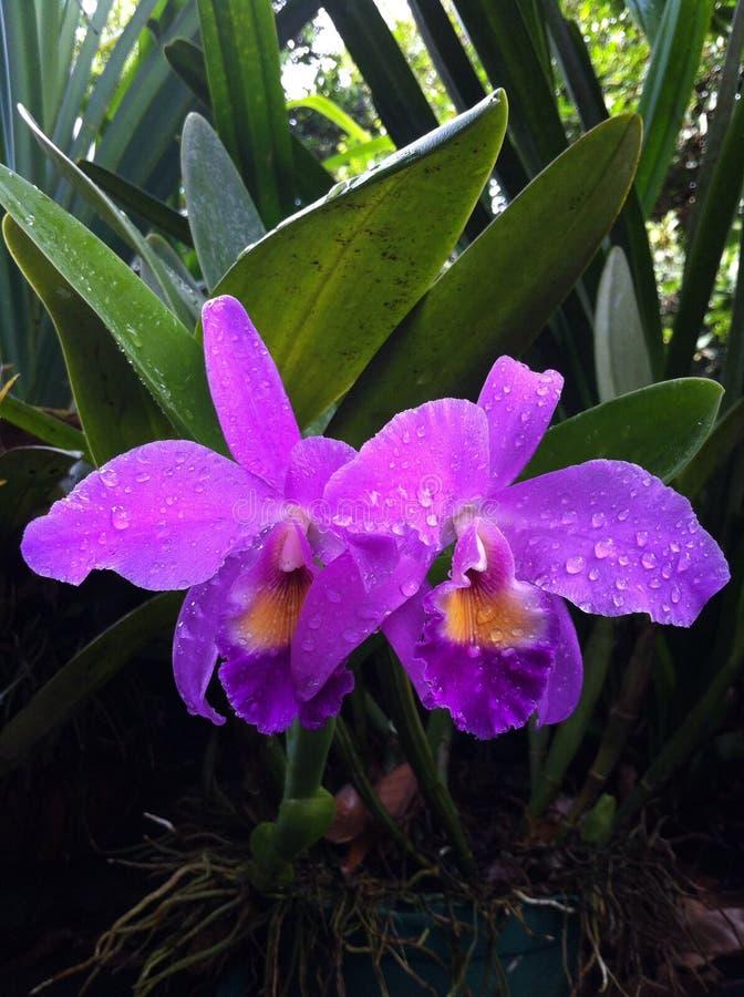 Ферзь орхидеи стоковые изображения rf