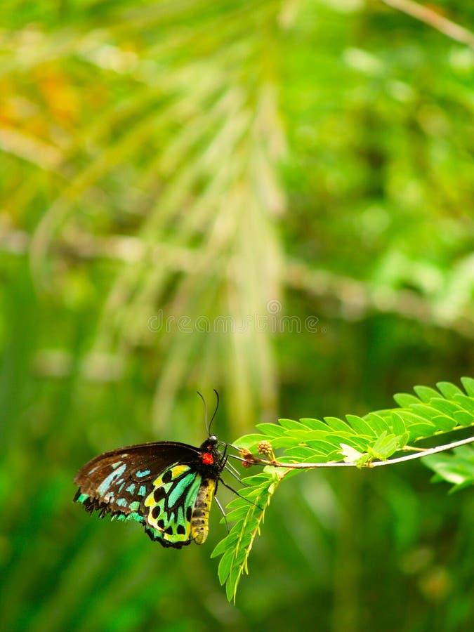 ферзь s Александры birdwing стоковая фотография