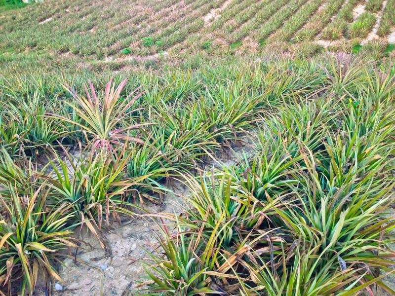 Ферма ананаса стоковые фото