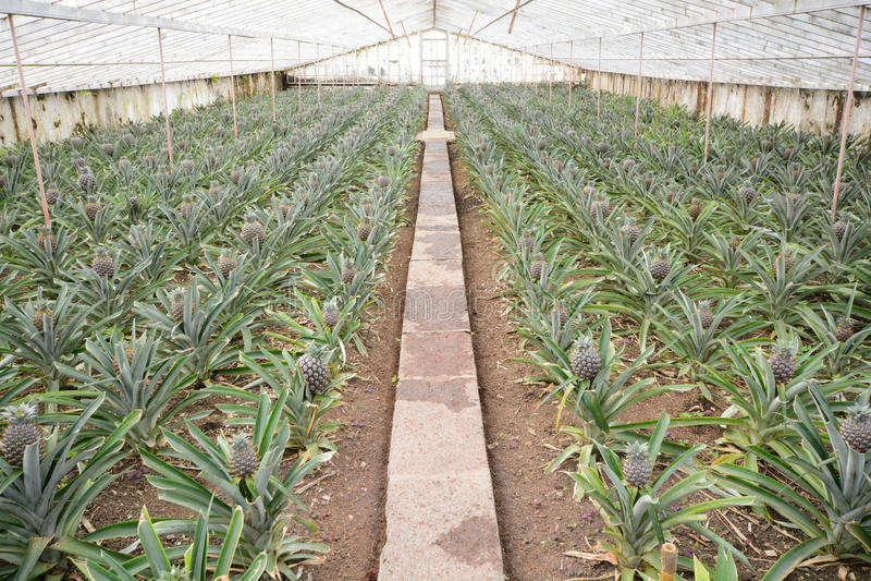 Ферма ананаса стоковое фото