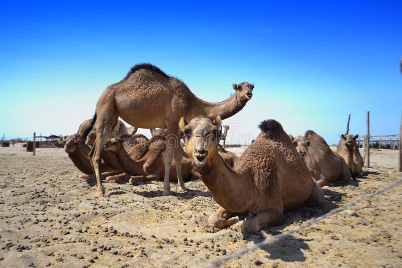 ферма верблюдов стоковое фото