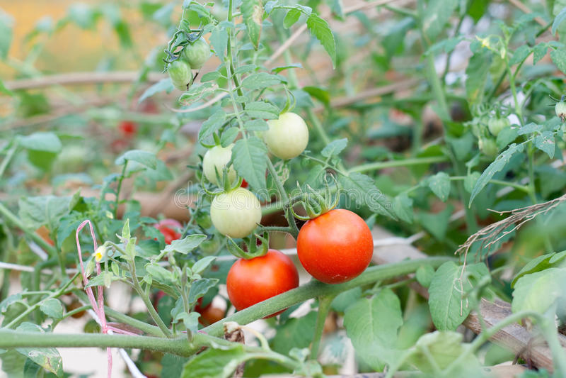 Ферма вкусных красных томатов стоковое изображение rf