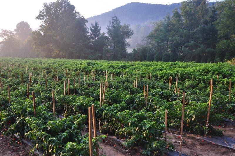 Ферма горячего перца стоковая фотография