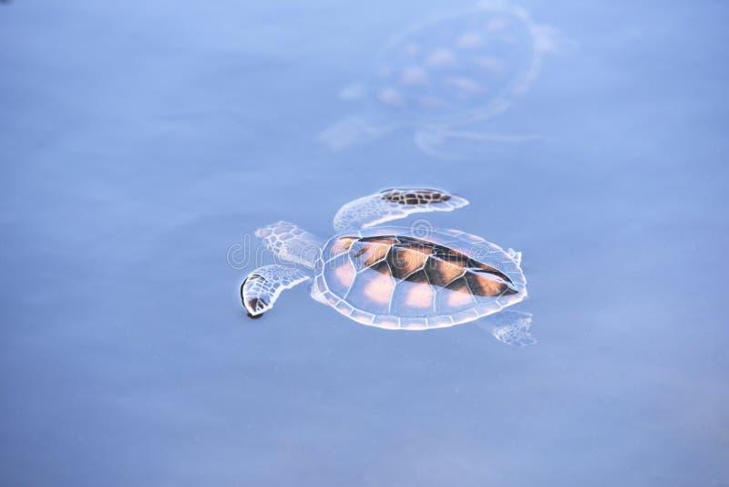 Ферма зеленой черепахи и плавать на пруде воды - морской черепахе hawksbill немного стоковые изображения