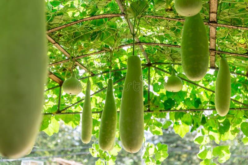 Ферма земледелия длинной тыквы калебаса органическая стоковая фотография rf
