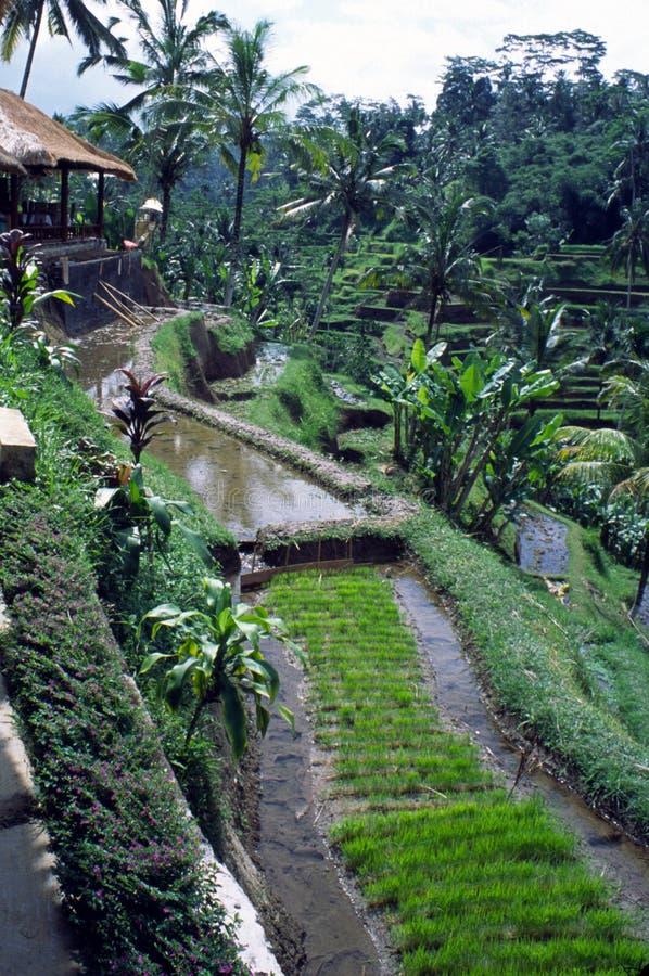 ферма Индонесия java стоковые изображения rf