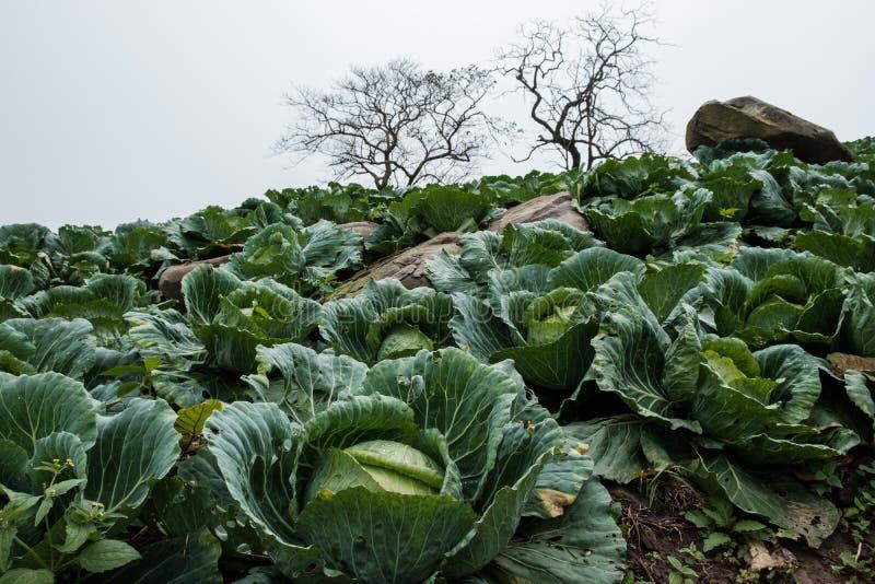 Ферма капусты с сухими деревьями стоковые фотографии rf