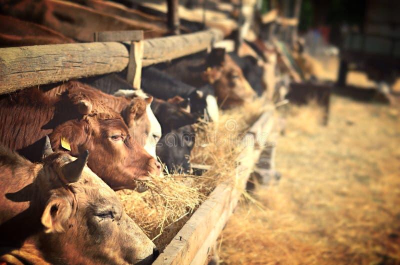 Ферма коровы где коровы есть сено стоковое фото