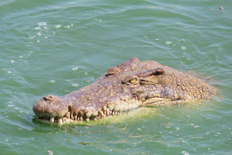Крокодил и крыса картинки