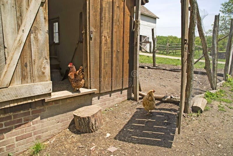 ферма курятника цыпленка bailey стоковые изображения rf