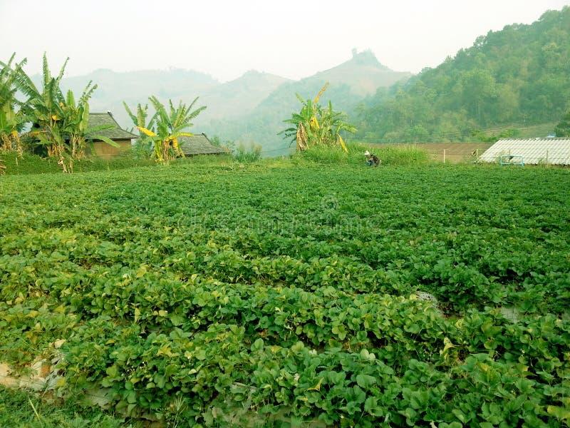 Ферма клубники в горе стоковое фото rf