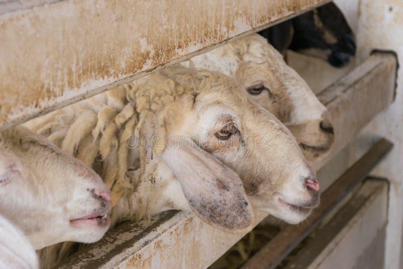 Ферма овец стоковые изображения rf