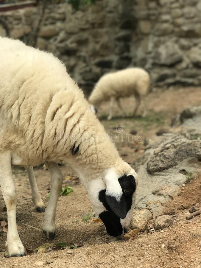 Ферма овец стоковые фото