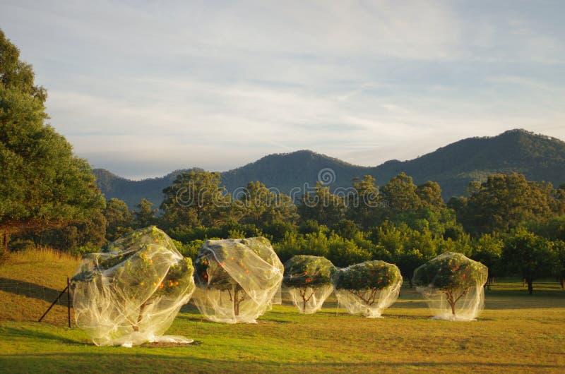 Ферма оранжевого дерева стоковое фото