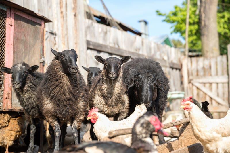 Ферма поголовья, стадо овец стоковые фотографии rf
